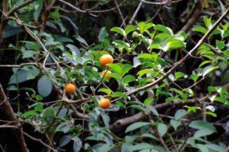 Homöopathen verwenden für die Herstellung von Nux Vomica die reifen, getrockneten Samen der Brechnuss