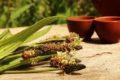 Spitzwegerich wird in der Naturheilkunde gegen Mückenstiche eingesetzt