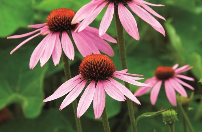 Die Heilpflanze Echinacea gehört in Deutschland zu den populärsten Naturarzneimitteln bei Atemwegsinfekten. Auch die Abwehrkräfte stärkt das Wundermittel
