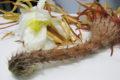 """Der Cactus grandiflorus oder auch """"Königin der Nacht"""" ist für seine Blütenpracht bekannt und wird in der Homöopathie verwendet"""