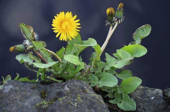 Im Frühjahr werden die Stoffwechselorgane wieder aktiver. Stoffwechselanregende Kräuter des Frühlings können gegen Winterspeck helfen.