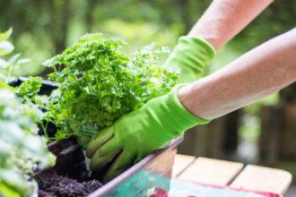 Ein wichtiger Punkt aus der Anleitung besagt, dass der heimische Kräutergarten nicht zu oft abgeerntet werden sollte, sonst drohen die Pflanzen einzugehen.