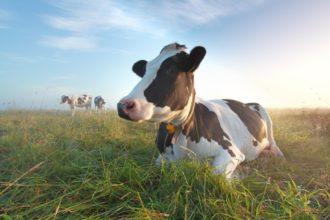 Das Treibhausgas Methan steht im Verdacht, den Klimawandel zu beschleunigen. Es kommt laut Forschern vermehrt im Dung von Kühen vor, denen Antibiotika gegeben wurden.