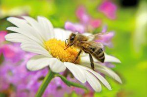 Apis mellifica hilft dem Körper, die Schwellung nach einem Wespenstich abzubauen und lindert Schmerzen.