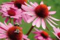 Als Heilpflanze war der Sonnenhut schon den nordamerikanischen Ureinwohnern bekannt.