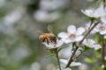 Manuka-Honig zählt zu den ältesten Heilmitteln der Menschheit. Er besitzt hohe Gehalte an Methylglyoxal. Dieses Zuckerabbauprodukt verleiht dem Honig besondere antibakterielle Eigenschaften. Ob Manuka Honig auch vorbeugend gegen Erkältungen wirkt, konnte wissenschaftlich bislang nicht belegt werden. Generell gilt Honig aber als bewährtes Hausmittel bei Erkältungen.