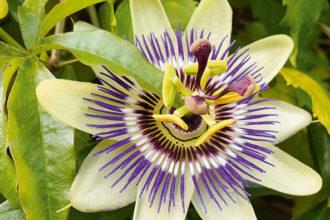 Passionsblume (Passiflora edulis)