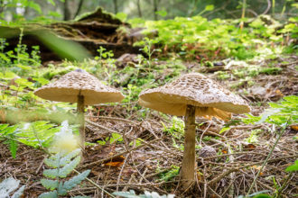 Die Bedeutung von Mykorrhizapilzen für unser Ökosystem ist enorm, denn ohne die Symbiose mit ihnen könnten Wälder, Wiesen und auch Ackerflächen nicht existieren.